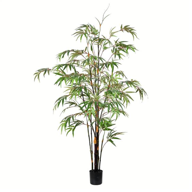 5' Potted Black Japanese Bamboo Tree