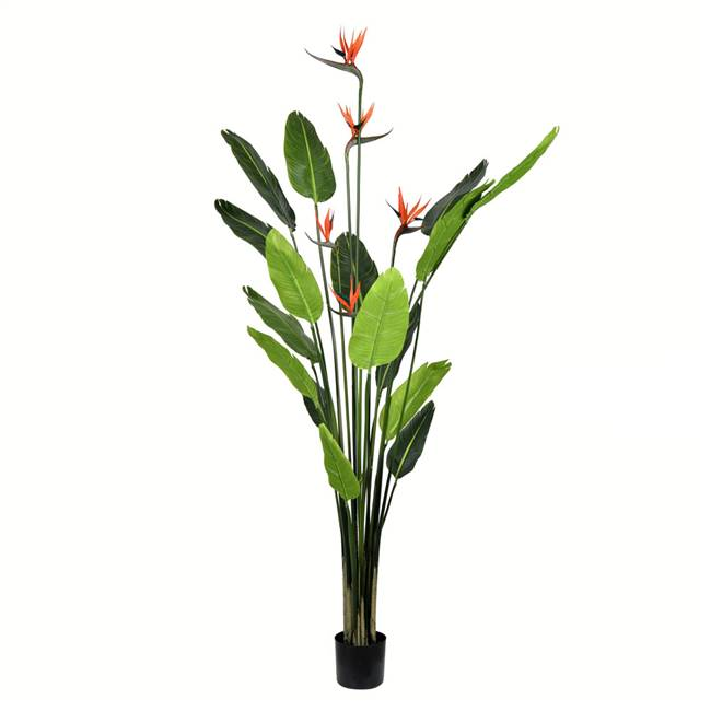 6' Potted Bird of Paradise Palm 16 Leave