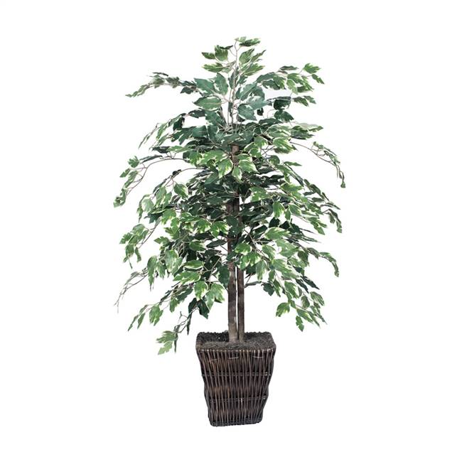 4' Variegated Ficus Bush in Sq Willow