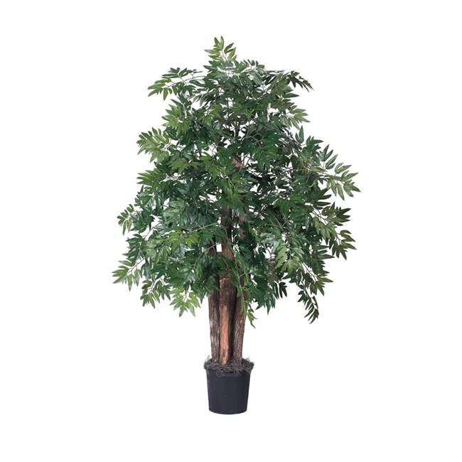 4' IFR Ming Aralia Bush in Blk Pot