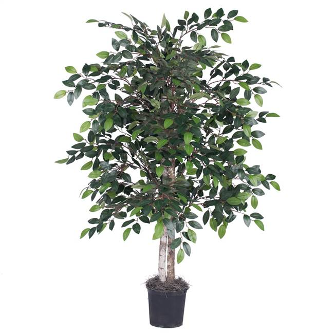 4' Mini Ficus Bush