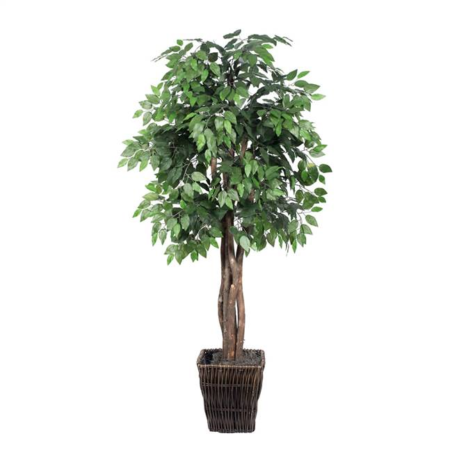 6' Ficus Executive
