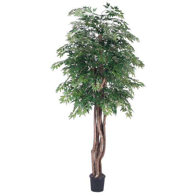 6' IFR Ming Aralia Executive Tree