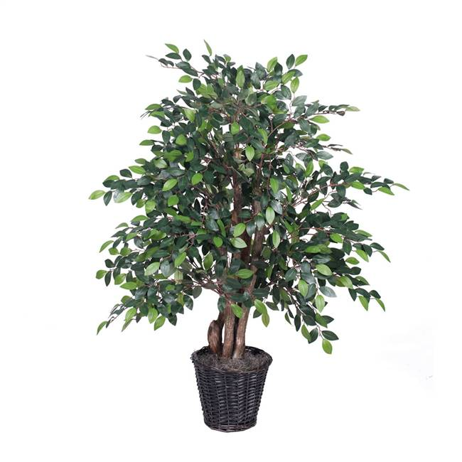 4' Mini Ficus Extra Full