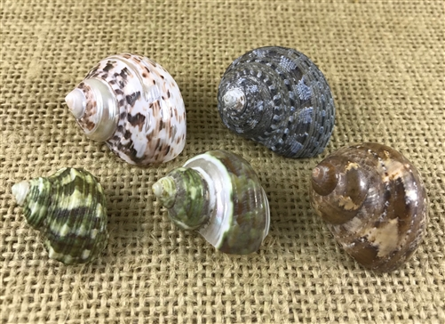 Tiny Hermit Crab Shell 10 Pack