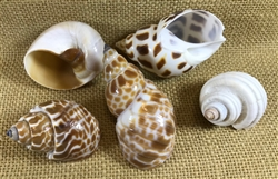 Medium Hermit Crab D-shaped Shell Pack