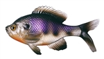 13 Fishing - Coalition Bait Co The Gill Swimbait