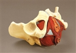 Composite Pelvis and Pelvic Floor