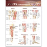 Joints of the Lower Extremities Anatomical Chart