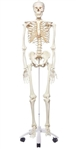 3B Scientific Human Skeleton Model Stan Smart Anatomy