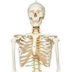 3B Scientific Flexible Human Skeleton Model Fred Smart Anatomy