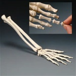 Elastic Hand Demonstration Model