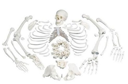 Disarticulated Full Human Skeleton w/ 3 Part Skull