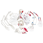 Disarticulated Full Human Skeleton w/ 3 Part Skull (Painted Muscles)