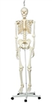 3B Scientific Human Skeleton Model Stan on Hanging Stand Smart Anatomy