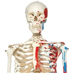 3B Scientific Human Skeleton Model Max on Hanging Stand with Painted Muscle Origins & Inserts Smart Anatomy