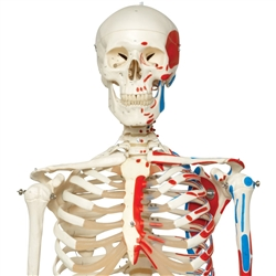 Skeleton Model with Painted Muscle Origins and Inserts - Max - Hanging Stand