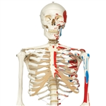 3B Scientific Human Skeleton Model Max with Painted Muscle Origins & Inserts Smart Anatomy