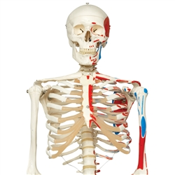 Skeleton Model with Painted Muscle Origins and Inserts - Max