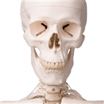 Skeleton Model with Ligaments - Leo