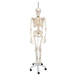 3B Scientific Physiological Human Skeleton Model Phil on Hanging Stand Smart Anatomy