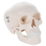 3B Scientific Mini Human Skull Model, 3 Part (Skullcap, Base of Skull, Mandible) Smart Anatomy