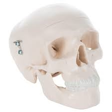 Mini Human Skull Model (3 part - Skullcap)