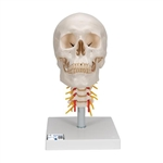 3B Scientific Human Skull Model on Cervical Spine, 4 Part Smart Anatomy