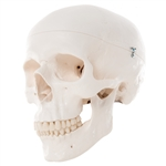 3B Scientific Classic Human Skull Model, 3 Part Smart Anatomy