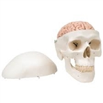 3B Scientific Classic Human Skull Model with 8 Part Brain Smart Anatomy
