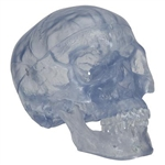 3B Scientific Transparent Classic Human Skull Model, 3 Part Smart Anatomy