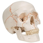 3B Scientific Numbered Human Classic Skull Model, 3 Part Smart Anatomy