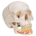 3B Scientific Classic Human Skull Model with Opened Lower Jaw, 3 Part Smart Anatomy