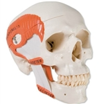 3B Scientific TMJ Human Skull Model, Demonstrates Functions of Masticator Muscles, 2 Part Smart Anatomy
