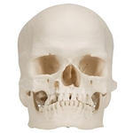 3B Scientific Microcephalic Human Skull Model