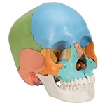 3B Scientific Beauchene Adult Human Skull Model, Didactic Colored Version, 22 Part Smart Anatomy