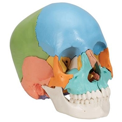 Beauchene Adult Human Skull Model, 22 Part (Didactic Colored Version)