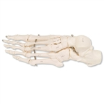 3B Scientific Human Left Foot Skeleton, Wire Mounted Smart Anatomy