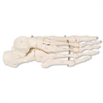3B Scientific Human Right Foot Skeleton, Wire Mounted Smart Anatomy