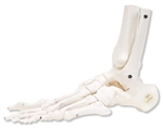 Loose Foot and Ankle Skeleton