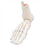 3B Scientific Human Right Foot and Ankle Skeleton Model