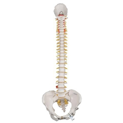 Classic Flexible Spine Model with Female Pelvis