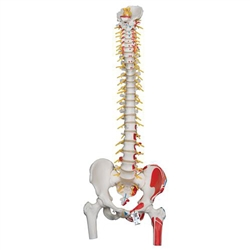 Deluxe Flexible Spine Model with Femur Heads (Painted Muscles)