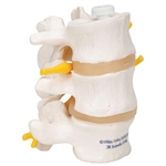 3B Scientific 3 Human Lumbar Vertebrae, Flexibly Mounted Smart Anatomy