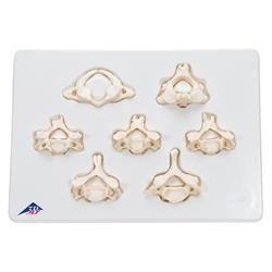 Set of 7 BONElike™ Cervical Vertebrae