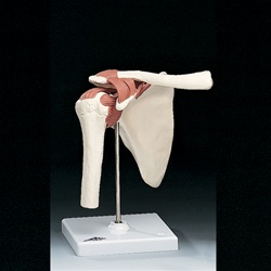 Functional Shoulder Joint Model (Right)