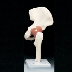 Functional Hip Joint Model (Right)