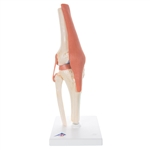 3B Scientific Functional Human Knee Joint Model with Ligaments & Marked Cartilage Smart Anatomy