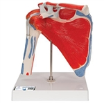 Shoulder Joint with Rotator Cuff (5 Part)