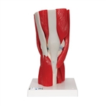 Knee Joint with Removable Muscles (12 Part)